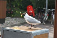 Fiskmås seagull Royaltyfria Bilder