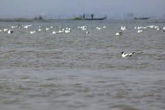 Fiskmåsar är fåglar med medel till stort royaltyfri foto