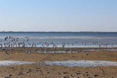 Fiskmåsar över breda flodmynningen Arkivfoton