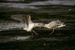 fiskmåsar Fotografering för Bildbyråer