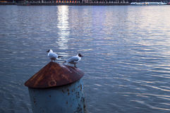 fiskmåsar Royaltyfri Foto