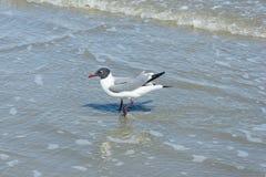 Fiskmåsar eller seagulls på Galveston Texas Arkivfoto