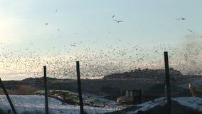 Fiskmåsar i deras tusentals flyger över avskrädespets i vintern Engalnd lager videofilmer