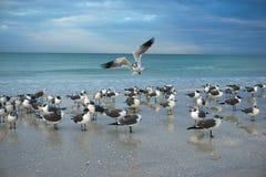 Fiskmåsar i en strandplats Fotografering för Bildbyråer