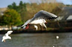 Fiskmåsar i flykten Royaltyfri Foto