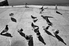 Fiskmåsar och duvor Arkivbilder