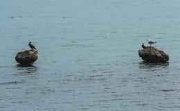 Fiskmåsar och fåglar på vaggar Royaltyfria Bilder