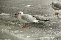 Fiskmåsar på is Royaltyfri Bild