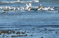 Fiskmåsar på kusten Arkivbilder