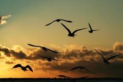 Fiskmåsar på kusten på solnedgång 2 Fotografering för Bildbyråer
