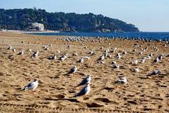 fiskmåsar på sanden Arkivfoton