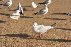 fiskmåsar på sanden Royaltyfria Foton