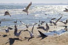 Fiskmåsar på stranden fotografering för bildbyråer