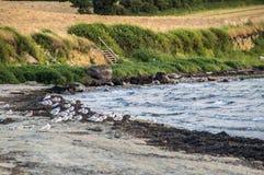 Fiskmåsar på stranden Arkivfoton