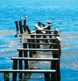Fiskmåsar på vattnet Arkivfoto