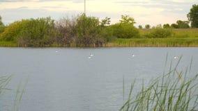 Fiskmåsar på vattnet av sjön stock video