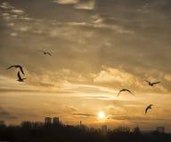 Fiskmåsar som flyger på solnedgången Fotografering för Bildbyråer