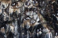 Fiskmåsar som sitter på redena Kolonin av seagulls på vaggar, den Kamchatka halvön, närliggande udde Kekurny, Ryssland royaltyfri bild