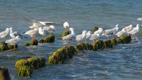 Fiskmåsar som slåss för ett ställe på vågbrytaren arkivfilmer