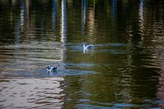Fiskmåsar som svävar i sjön arkivfoto