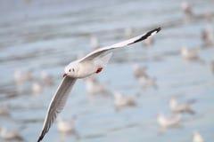 Fiskmåsarna flyger Seagullsfluga över havet Fotografering för Bildbyråer