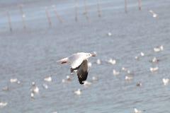 Fiskmåsarna flyger Seagullsfluga över havet Arkivfoton