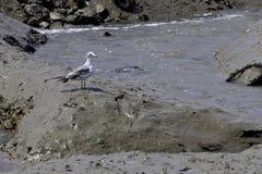 Fiskmåsen plattforer i mud. Fotografering för Bildbyråer
