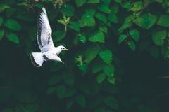 Fiskmåsfågelfluga över den lilla floden som söker efter mat Arkivfoto