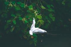 Fiskmåsfågelfluga över den lilla floden som söker efter mat Arkivbilder