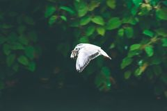 Fiskmåsfågelfluga över den lilla floden som söker efter mat Arkivfoton
