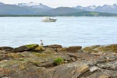 Fiskmåsfågelunge (Larus) på den steniga stranden på bakgrund av snö-korkade berg Royaltyfri Fotografi