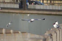 Fiskmåsflyg Arkivfoto