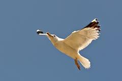 fiskmåshav Royaltyfri Fotografi