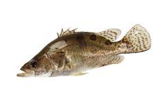 fiskmandarin Fotografering för Bildbyråer