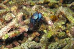 fiskmandarinihopparning Arkivbild