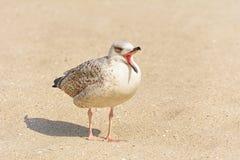 Fiskmåsar Birdling på sanden Fotografering för Bildbyråer