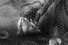 Fisknät fisk i netto, fisk Arkivfoto