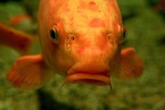 fiskorange royaltyfri foto