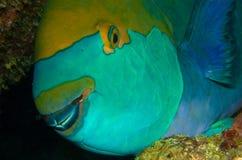 fiskpapegoja Arkivfoto