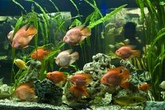 fiskpapegojascaridae Royaltyfria Bilder