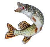 Fiskpik Hoppa ut ur vattnet Emblem som isoleras på en vit bakgrund royaltyfri foto