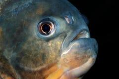 fiskpiranha Royaltyfria Bilder
