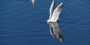 Fiskplattångseagull royaltyfria foton