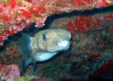 fiskporcupine Arkivfoton