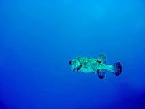 fiskporcupine Royaltyfri Foto