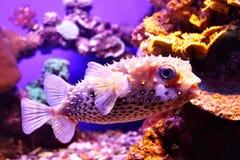 fiskporcupine Royaltyfri Fotografi
