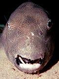 fiskporcupinepuffer Arkivbild