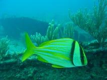 fiskpork Arkivfoton