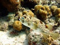 fiskpuffer Royaltyfria Bilder