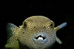 fiskpuffer royaltyfri fotografi